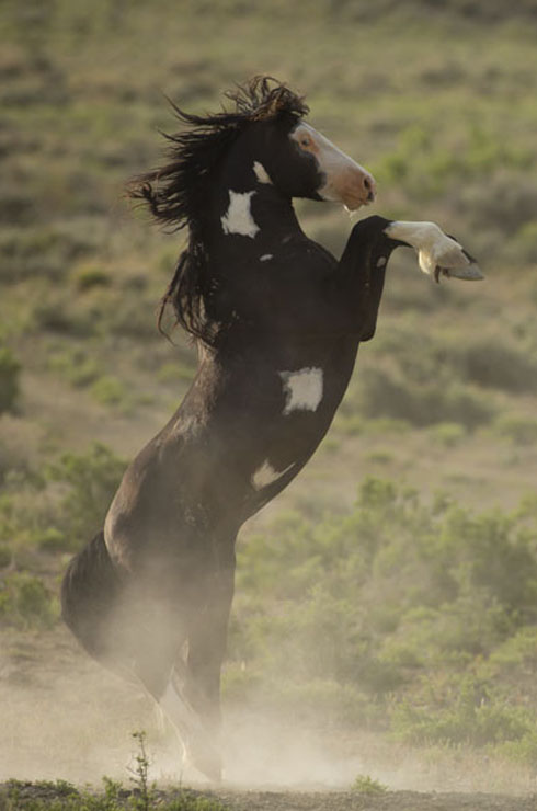 wild horse stallion rearing up for a confrontation
