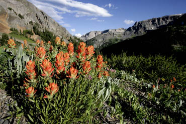 paintbrush and mountains colorado wildflowers photo